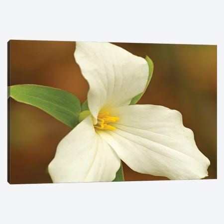 Sign Of Spring - Trillium Canvas Print #BWF495} by Brian Wolf Canvas Art