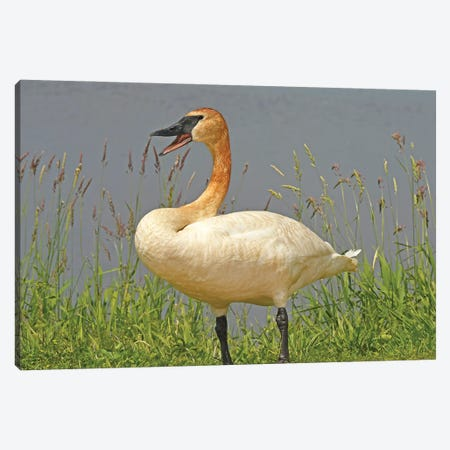 Are You Talking To Me - Trumpeter Swan 3-Piece Canvas #BWF496} by Brian Wolf Canvas Art
