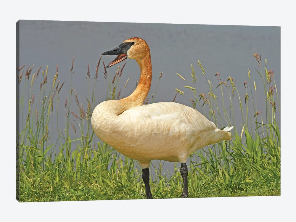 Are You Talking To Me - Trumpeter Swan by Brian Wolf 1-piece Canvas Art Print