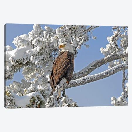Winter Eagle - Yellowstone Canvas Print #BWF497} by Brian Wolf Canvas Art