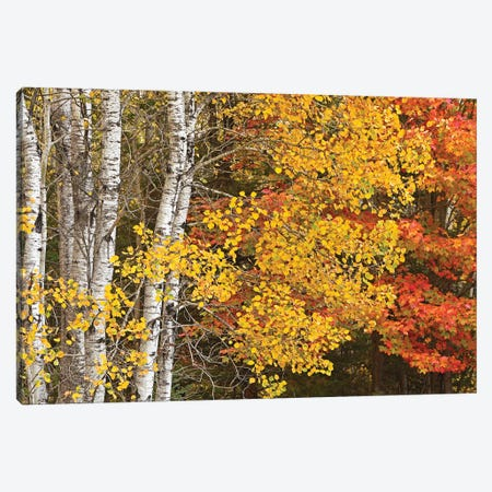Aspens And Maples In The Fall Canvas Print #BWF507} by Brian Wolf Canvas Artwork