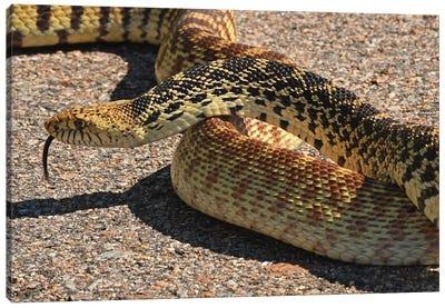 Bull Snake Stopping Traffic Canvas Art Print