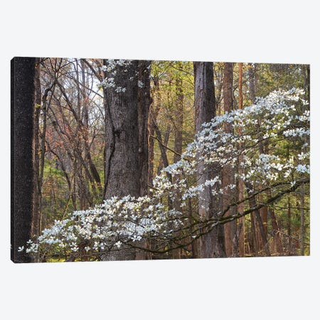 Dogwood Blossom Canvas Print #BWF513} by Brian Wolf Canvas Art