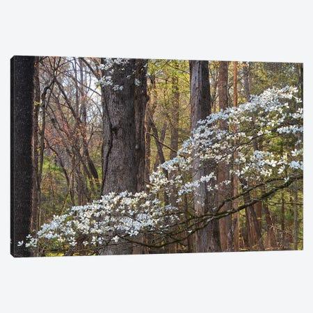 Dogwood Blossom Canvas Print #BWF513} by Brian Wolf Canvas Art