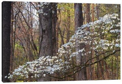 Dogwood Blossom Canvas Art Print