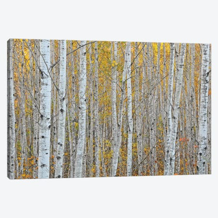 Birch Forest Canvas Print #BWF51} by Brian Wolf Canvas Wall Art