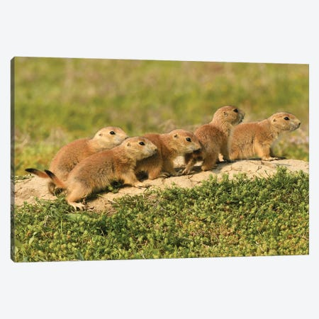 All The Pups Lined Up Canvas Print #BWF532} by Brian Wolf Canvas Wall Art
