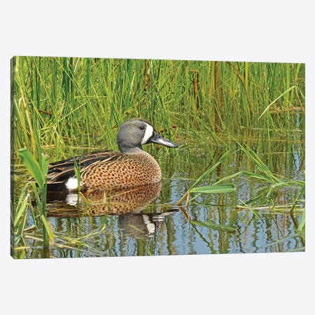 Springtime Blue-Wing Teal 3-Piece Canvas #BWF535} by Brian Wolf Art Print