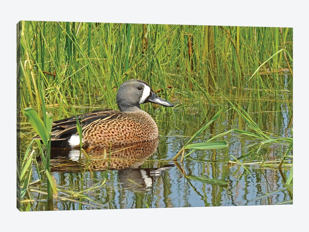 Springtime Blue-Wing Teal by Brian Wolf 1-piece Canvas Art Print