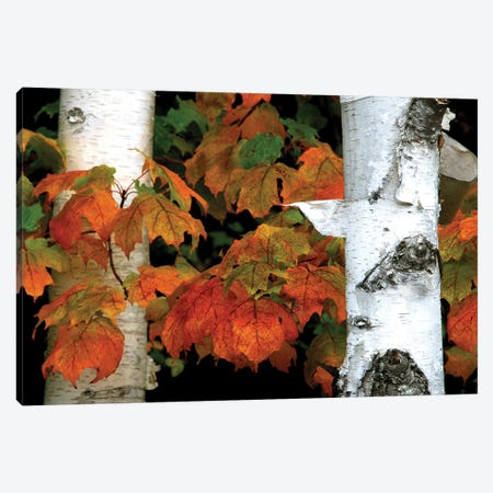 Birches and Maple Leaves Canvas Print #BWF53} by Brian Wolf Canvas Art