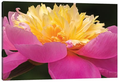 A Different Perspective - Peony Canvas Art Print