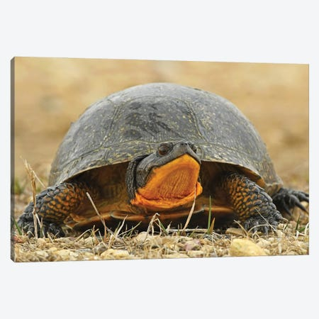 Endangered Blanding Turtle Canvas Print #BWF547} by Brian Wolf Canvas Wall Art