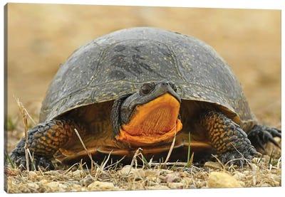 Endangered Blanding Turtle Canvas Art Print