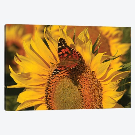 Painted Lady On Sunflower Canvas Print #BWF549} by Brian Wolf Art Print