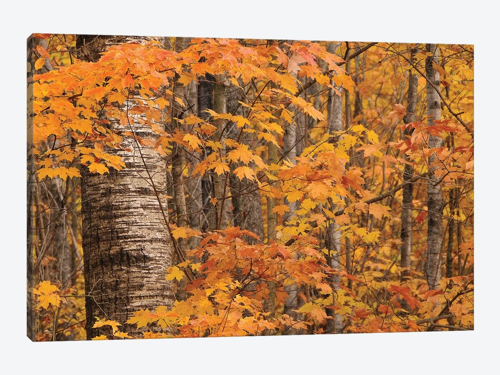 Birches and Maples by Brian Wolf 1-piece Canvas Print