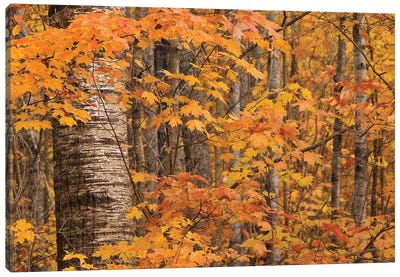 Birches and Maples Canvas Art Print