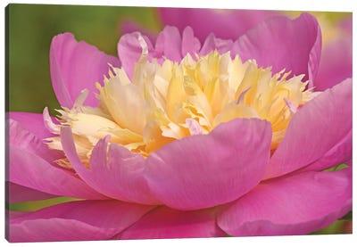 Peony In Full Bloom Canvas Art Print