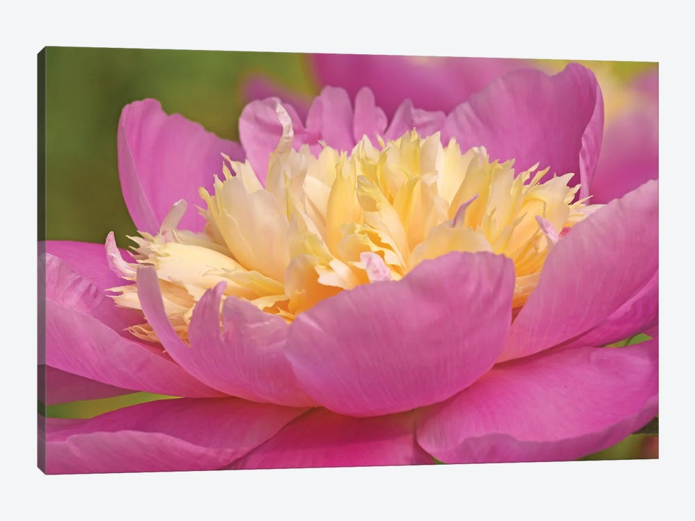 Peony In Full Bloom by Brian Wolf 1-piece Canvas Art