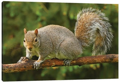 Squirrel Posing For The Camera Canvas Art Print