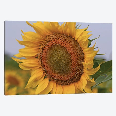 Kansas Sunflower Against The Blue Sky Canvas Print #BWF552} by Brian Wolf Canvas Artwork