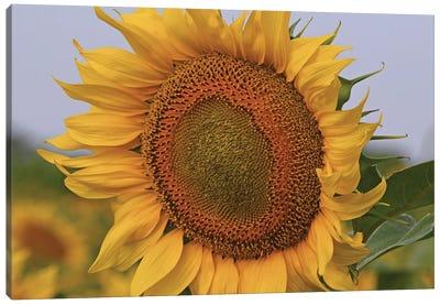 Kansas Sunflower Against The Blue Sky Canvas Art Print