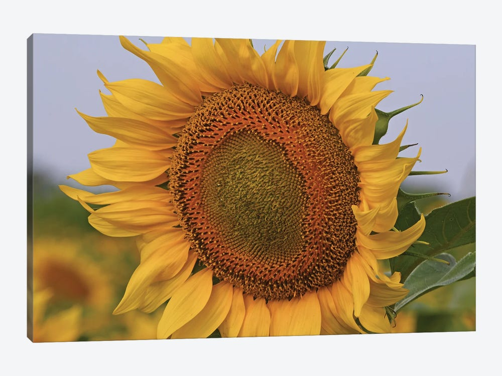 Kansas Sunflower Against The Blue Sky by Brian Wolf 1-piece Canvas Wall Art