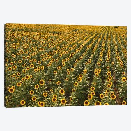 Kansas Sunflower Field Canvas Print #BWF553} by Brian Wolf Canvas Wall Art