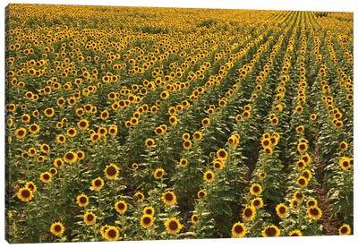 Kansas Sunflower Field Canvas Art Print