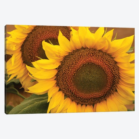 Kansas Sunflowers Canvas Print #BWF554} by Brian Wolf Art Print
