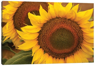 Kansas Sunflowers Canvas Art Print