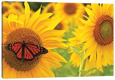 Monarch On Sunflowers Canvas Art Print