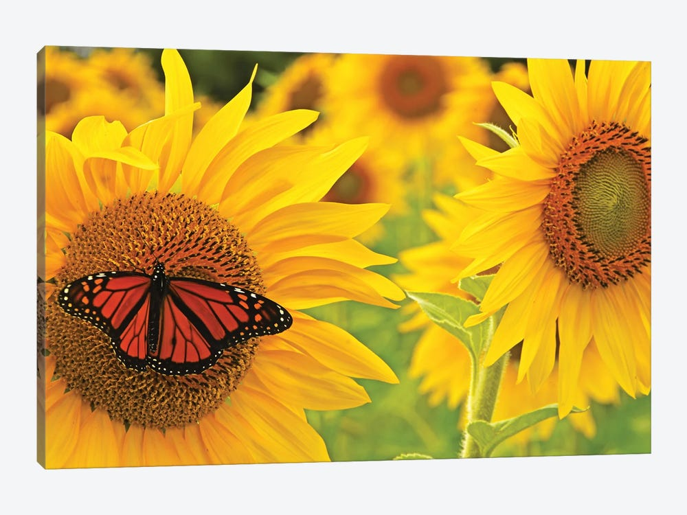 Monarch On Sunflowers by Brian Wolf 1-piece Canvas Print