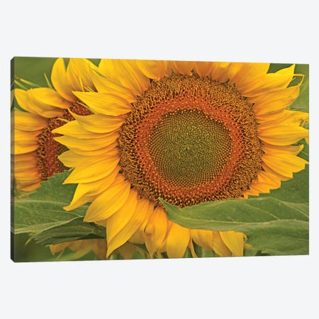 Sunflower Close-Up Canvas Print #BWF556} by Brian Wolf Art Print