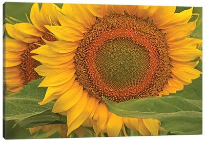 Sunflower Close-Up Canvas Art Print