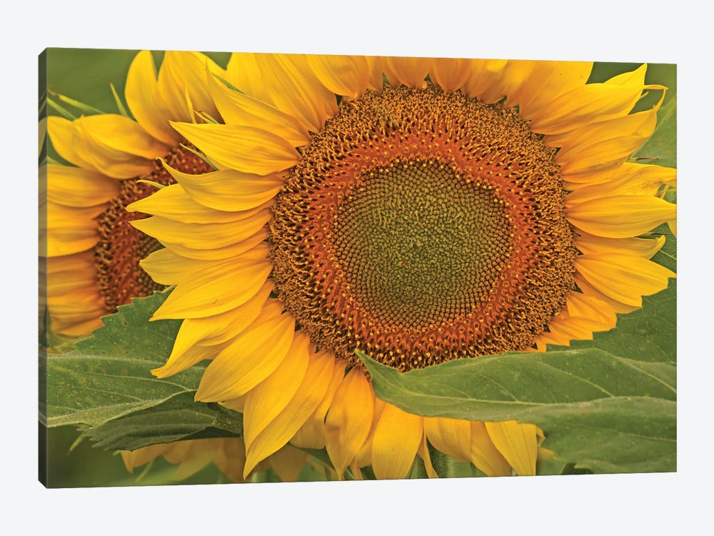 Sunflower Close-Up by Brian Wolf 1-piece Canvas Wall Art
