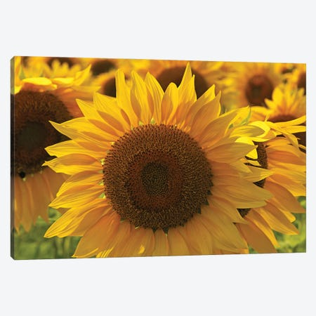 Sunflower Array Canvas Print #BWF557} by Brian Wolf Canvas Print