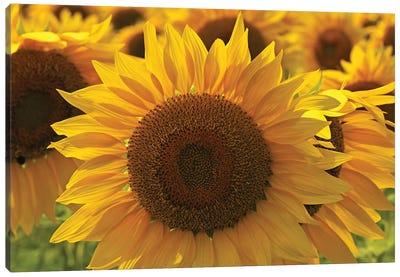 Sunflower Array Canvas Art Print
