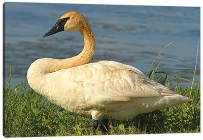 Posing Trumpeter Swan Canvas Art Print