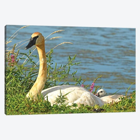 Trumpeter Swan And Cygnet Canvas Print #BWF559} by Brian Wolf Canvas Wall Art