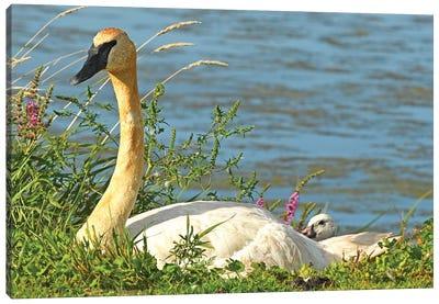 Trumpeter Swan And Cygnet Canvas Art Print