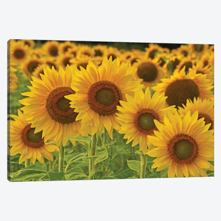 Sunflowers All In A Row Canvas Print #BWF561} by Brian Wolf Canvas Print