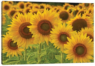 Sunflowers All In A Row Canvas Art Print