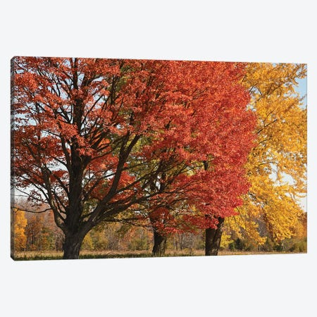 Majestic Maple Sentinels Canvas Print #BWF563} by Brian Wolf Canvas Print