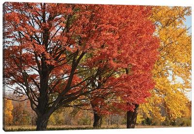 Majestic Maple Sentinels Canvas Art Print