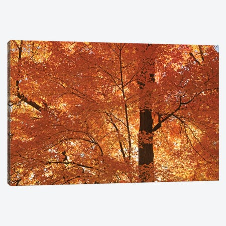 Sunshine On Maples Canvas Print #BWF566} by Brian Wolf Canvas Art
