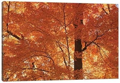 Sunshine On Maples Canvas Art Print