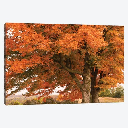Majestic Red Maples Canvas Print #BWF567} by Brian Wolf Canvas Artwork