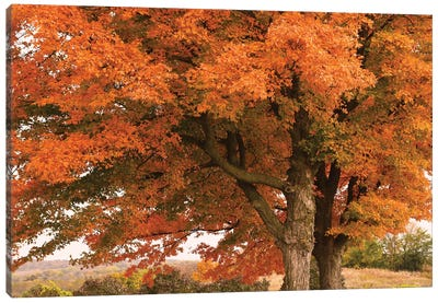 Majestic Red Maples Canvas Art Print