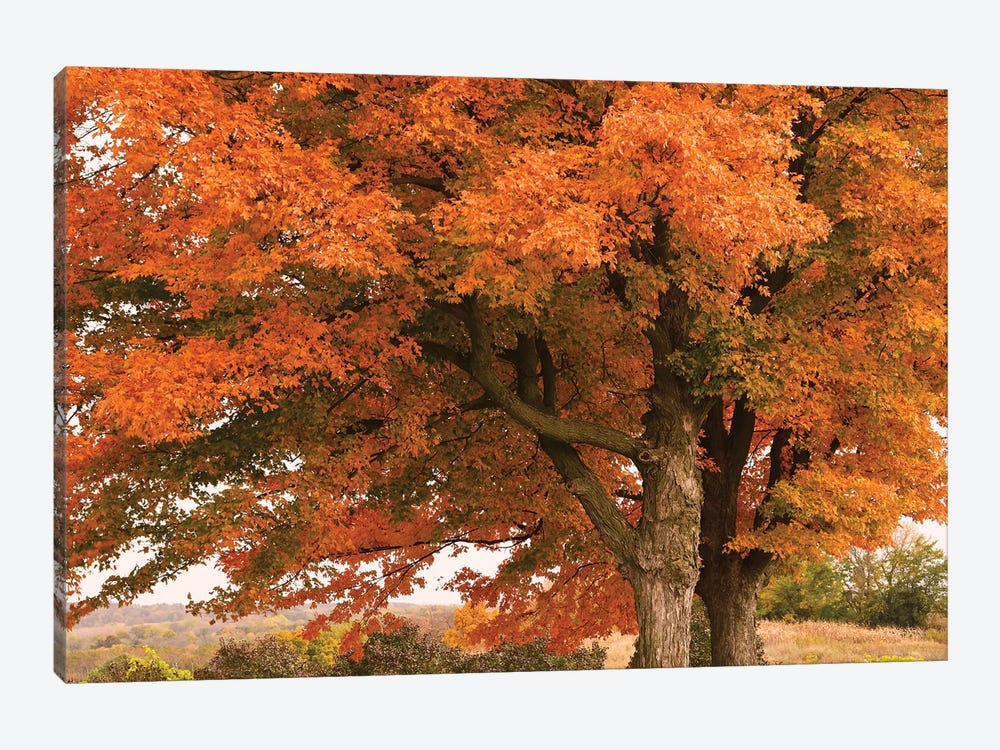 Majestic Red Maples by Brian Wolf 1-piece Canvas Wall Art