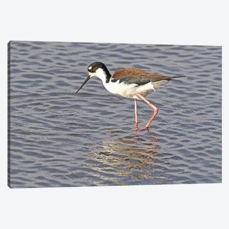 Black Neck Stilt Canvas Print #BWF56} by Brian Wolf Art Print